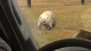 Polar Bear visits the job site